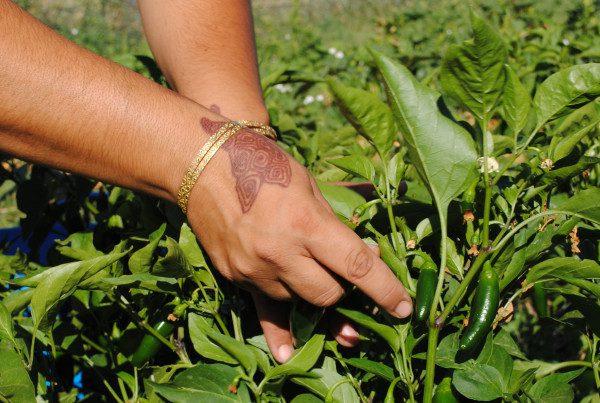 2011 - Faatma Hands Harvesting at DeLaney (Heidi Oberman)