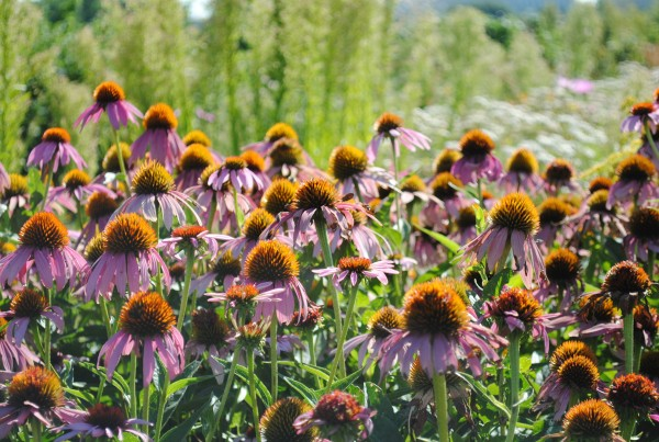 2011 - Purple Coneflowers at DeLaney (Heidi Oberman)