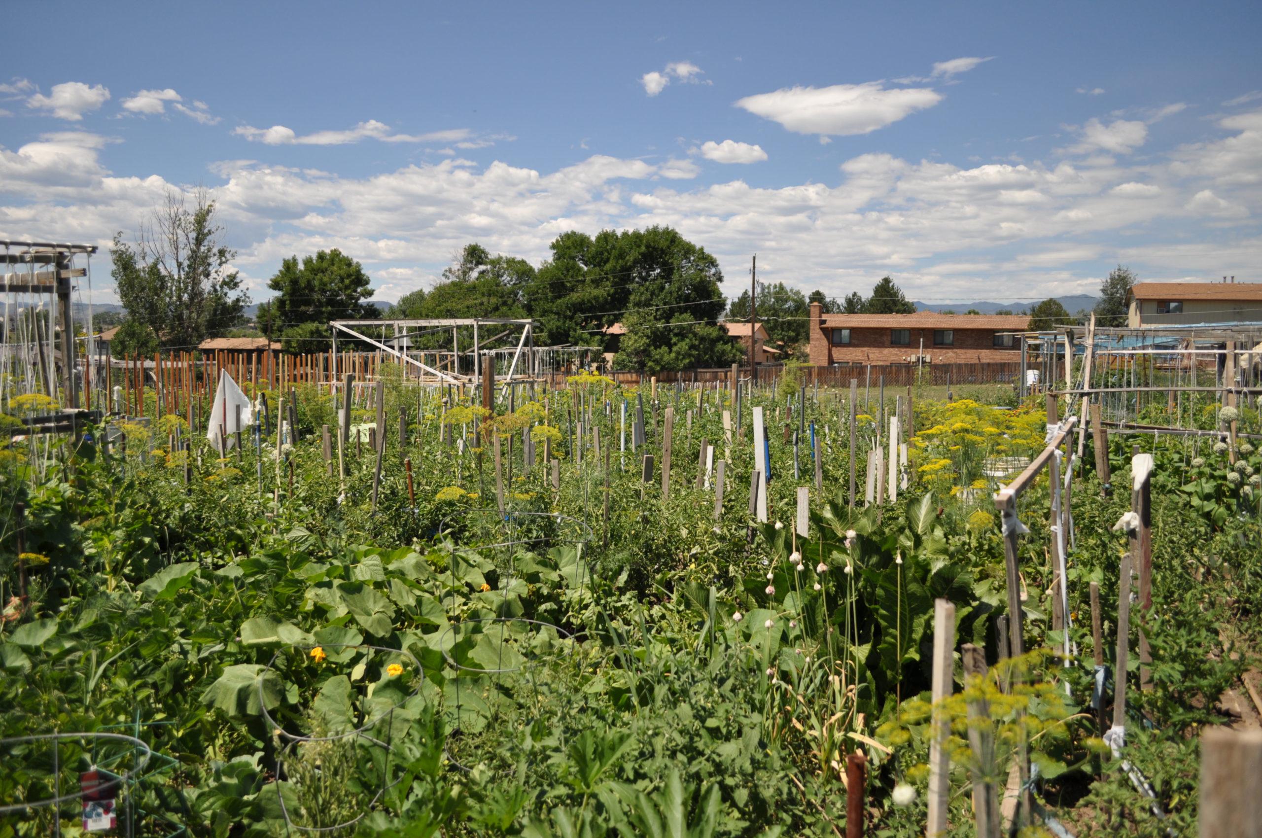 Arvada mennonite community garden denver urban gardens for Brims farm and garden