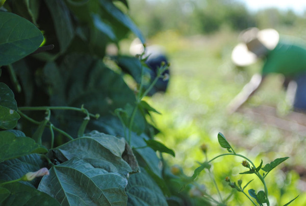 2011---Beans-in-Foreground_-Weeder-in-Background-at-DeLaney