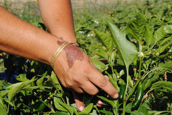 2011---Faatma-Hands-Harvesting-at-DeLaney-(Heidi-Oberman)
