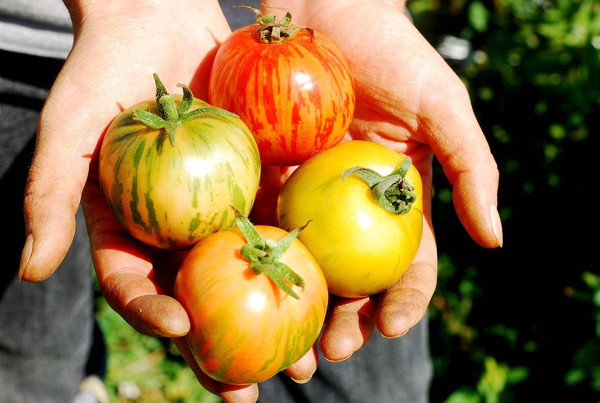 2011---Freshly-Harvested-Striped-Tomatoes-in-Hands