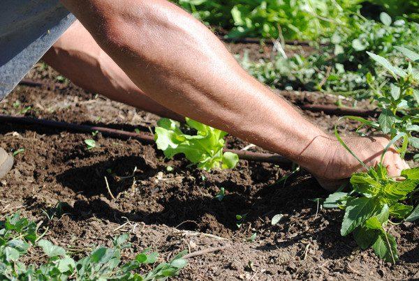 2011---Hands-Weeding-Lettuce-at-DeLaney-(Heidi-Oberman)