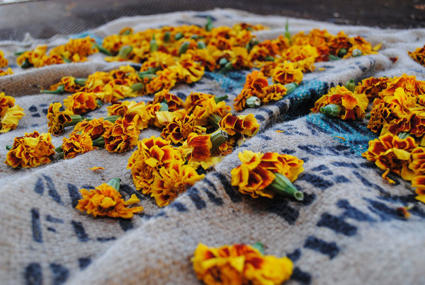 2011---Marigolds-Drying-on-Burlap-Sack-(Heidi-Oberman)