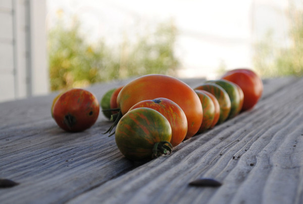 2011---Zebra-Tomatoes-on-DeLaney-Picnic-Table-(Heidi-Oberman)