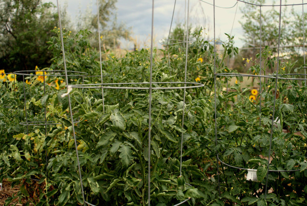 2012 - Tomatoes in Cages at Taxi Community Garden (Brandi Stanley) - LQ