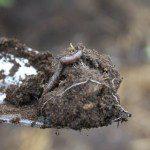 2012 - Worm on Trowel