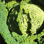 2011 - DeLaney Savoy Cabbage