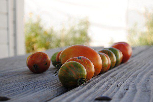 2011 - Zebra Tomatoes on DeLaney Picnic Table (Heidi Oberman)