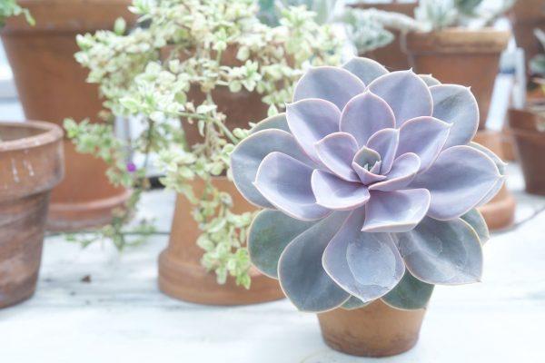 Blue Echeveria