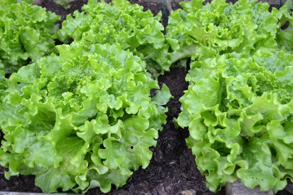 Salad Bowl Lettuce