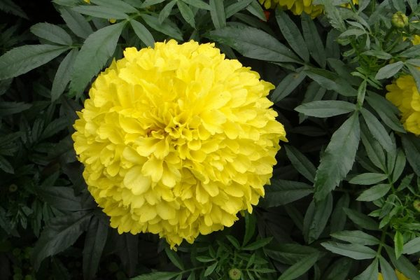 Discovery Yellow Marigolds
