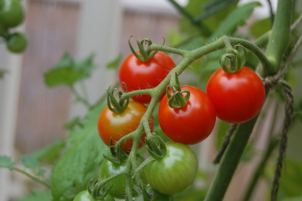 Supersweet 100 Cherry Tomato