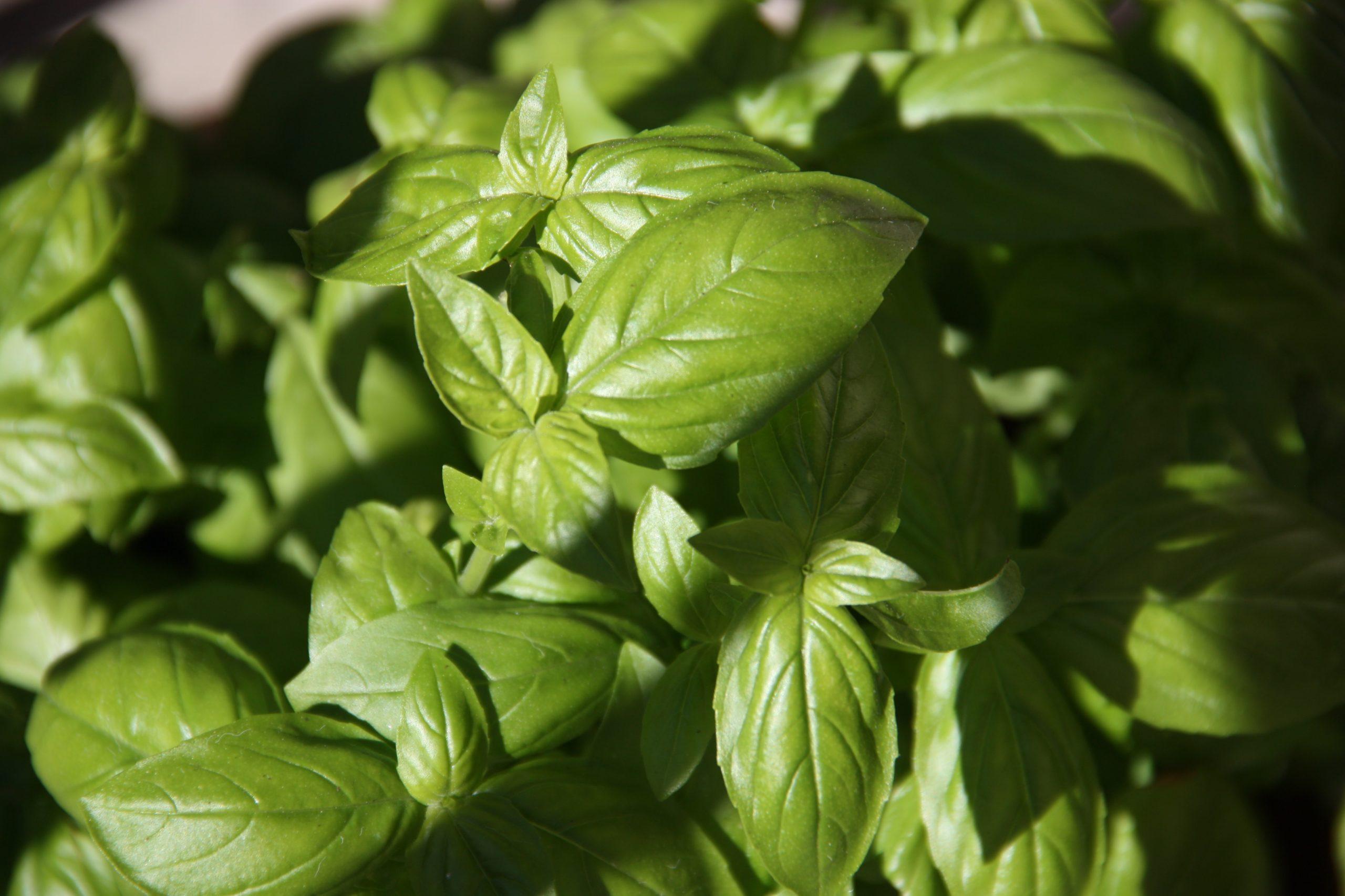 Fall Basil Pesto Recipe